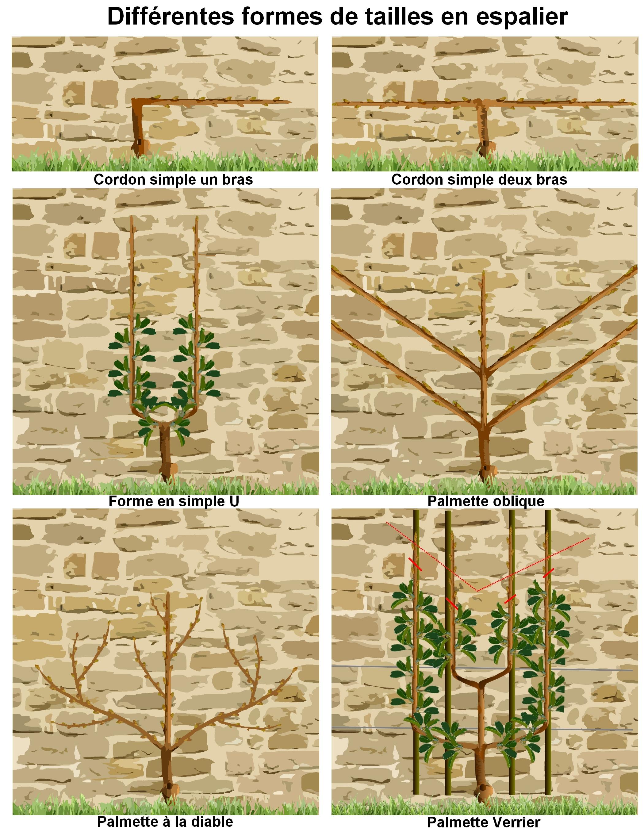 Taille des arbres fruitiers en espalier palmette verrier - Taille du poirier william ...