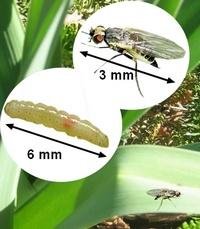 Maladies et parasites du poireau traitements bio - Maladie poireau mouche mineuse ...