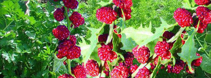 culture épinard fraise