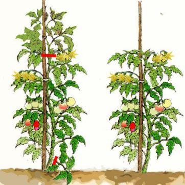 Tomate culture bio entretien biologique - Espace entre les pieds de tomates ...