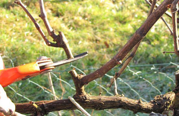 La vigne esp ce et culture taille de la vigne raisin de table - Quand tailler une vigne ...