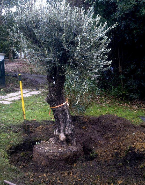 Planter un olivier for Planter un arbre dans son jardin