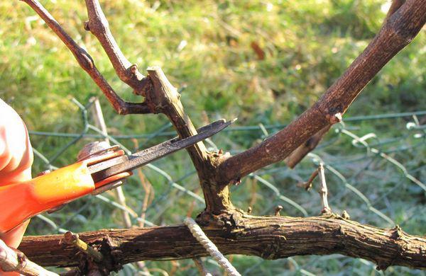 La vigne esp ce et culture taille de la vigne raisin de - Comment tailler une treille de raisin ...
