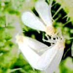 Insectes nuisibles au jardin d gat sur les arbres - La lutte biologique au jardin ...