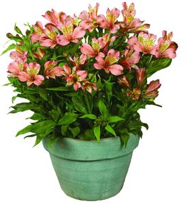 alstroemeria ou lis des incas vari 233 t 233 s culture bio taille et entretien
