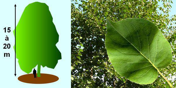 les aulnes aulnus glutinosa des arbres pour les zones humides du jardin. Black Bedroom Furniture Sets. Home Design Ideas