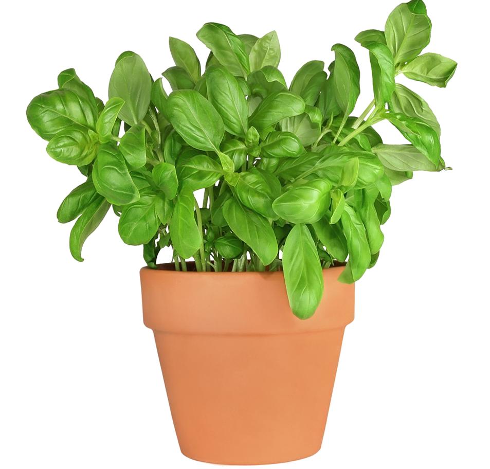 Comment Planter Du Basilic planter un basilic en pot