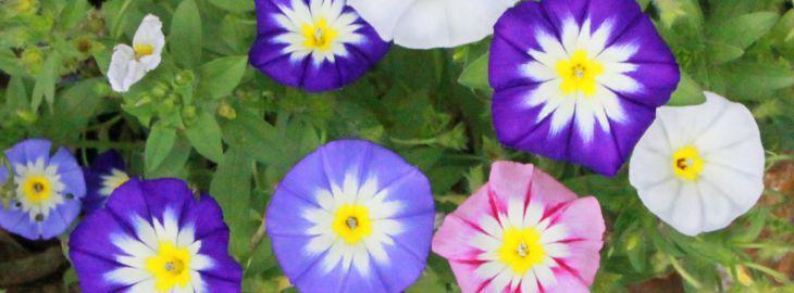 Belle De Jour Fleur Culture Entretien