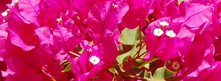 Bougainvillier Culture En Pot Taille