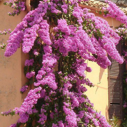 Amazing Gel D Eau Pour Plante #3: Bougainvillier%20cultivé%20en%20pot.jpg