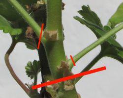 P largonium zonale bouture g ranium culture g ranium zonale for Comment arroser les geraniums