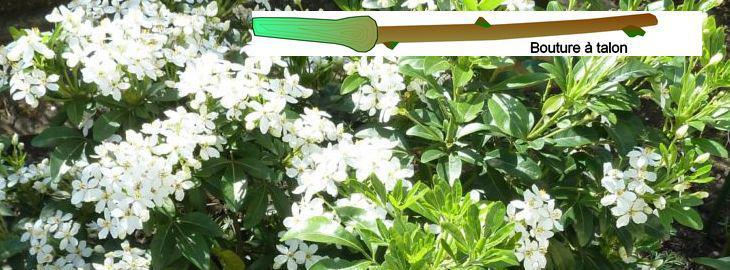 Bouturer le choisya ternata ou oranger du mexique - Oranger du mexique bouture ...