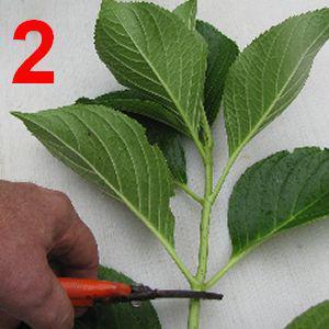 Bouturer l 39 hortensia - Comment bouturer un hortensia ...