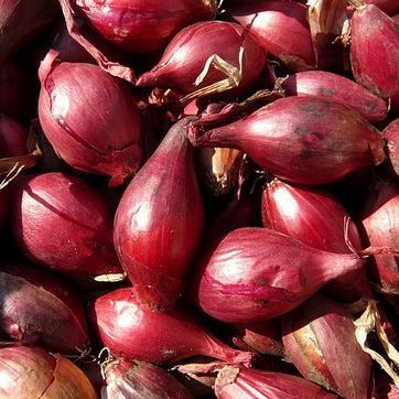 Plantation des oignons rouges - Quand planter les oignons rouges ...