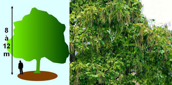 les catalpas des arbres faciles vivre. Black Bedroom Furniture Sets. Home Design Ideas