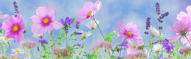 fleurs cosmos vivaces