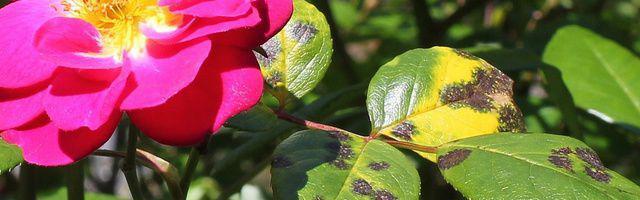 La cloque du p cher traitement bio d 39 hiver - Cloque du pecher traitement naturel ...