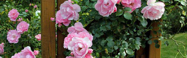 semis de roses comment semer les rosiers. Black Bedroom Furniture Sets. Home Design Ideas