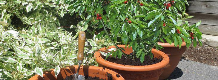 cultiver un arbre fruitier en pot. Black Bedroom Furniture Sets. Home Design Ideas