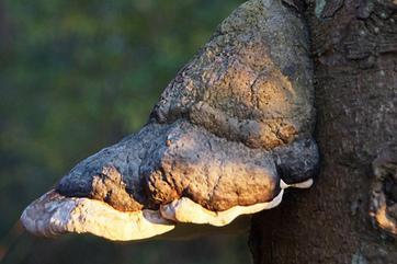 Champignons sur les troncs d 39 arbres au jardin sont ils dangeureux - Les champignons de jardin sont ils comestibles ...