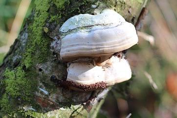 Champignons sur les troncs d 39 arbres au jardin sont ils dangeureux - Bouillie bordelaise sur arbres fruitiers en fleurs ...