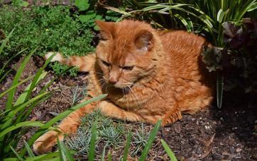 Emp cher le chat de faire des d g ts au jardin potager et - Empecher les chats de venir dans le jardin ...