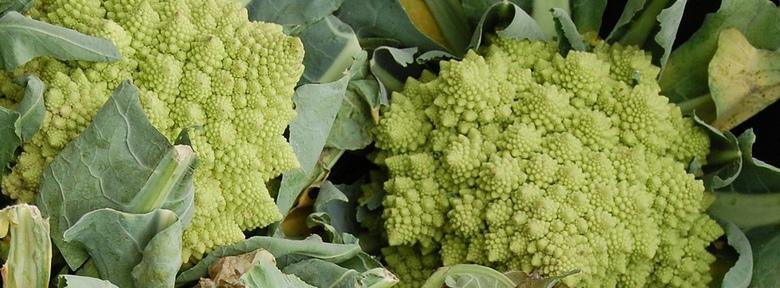 Chou-fleur Romanesco : semis — repiquage — culture bio