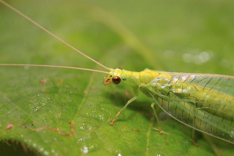 la chrysope verte un insecte utile au jardin bio. Black Bedroom Furniture Sets. Home Design Ideas