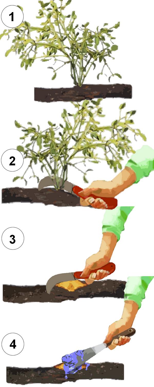 Comment enlever le gui des arbres d ornement ou des fruitiers - Comment se debarrasser des fourmis sur les arbres fruitiers ...