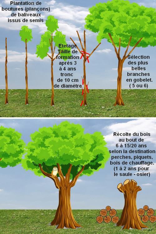 Les arbres en t tards ou trognes taille de formation - Comment tailler un erable ...