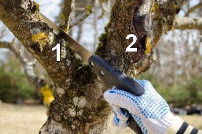 Rajeunir un vieux verger - Comment couper les branches d un arbre ...