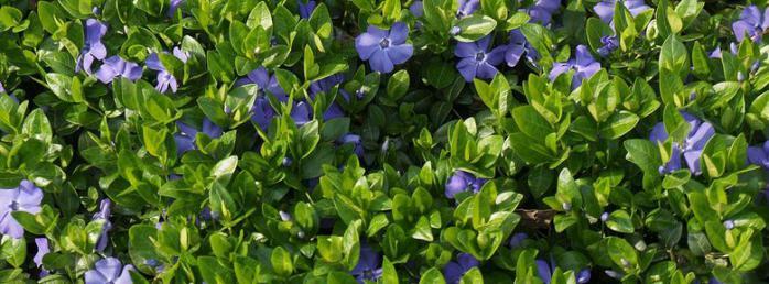 Plantes Couvre Sol