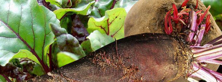 Betterave rouge culture bio vari t s - Conservation des betteraves rouges ...