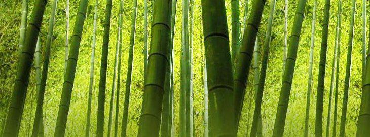 bambou en pot. Black Bedroom Furniture Sets. Home Design Ideas
