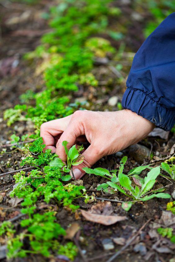 Fiches de jardinage bio les mauvaises herbes au jardin - Desherbage bio efficace ...