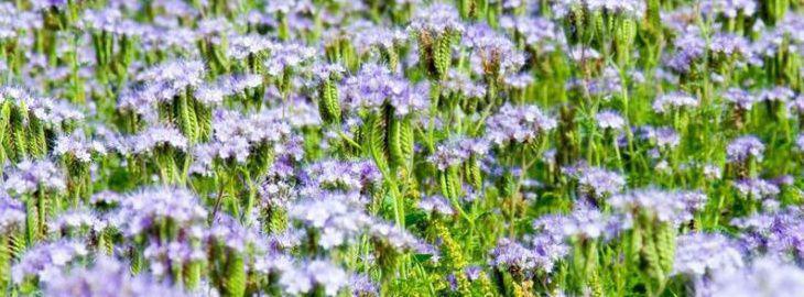 Engrais vert semis culture bio et enfouissement vari t s - Engrais vert d automne ...
