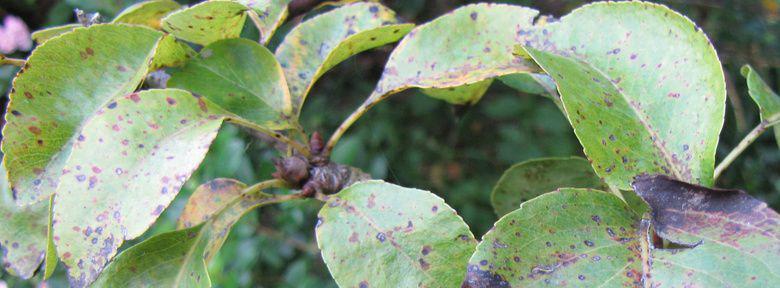 L 39 entomosporiose du poirier et du cognassier traitement bio - Traitement arbres fruitiers ...