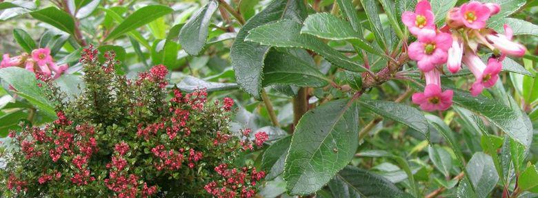 Arbustes d 39 ornement fleurs page 2 for Arbuste d ornement feuillage persistant