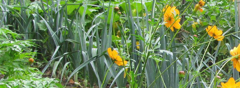Association des cultures au potager biologique - Association de legumes au potager ...