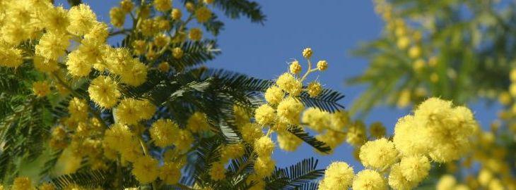 mimosa en pot plantation culture bio taille arrosage. Black Bedroom Furniture Sets. Home Design Ideas