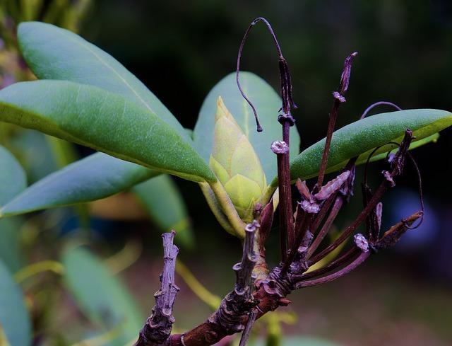 Faut il supprimer les fleurs fan es de rhododendron - Rhododendron ne fleurit pas ...