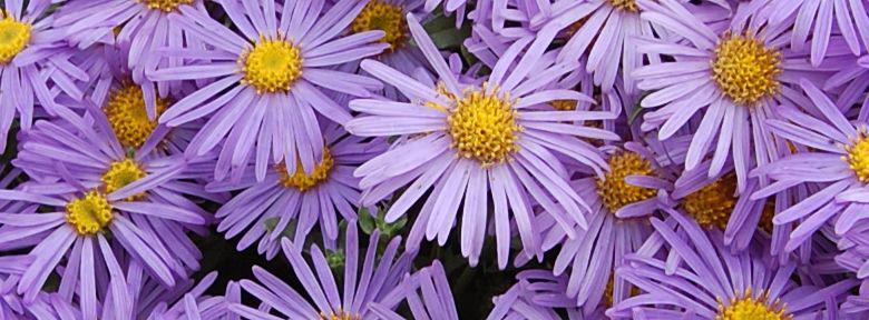 Fleurs vivaces d 39 automne for Fleurs automne