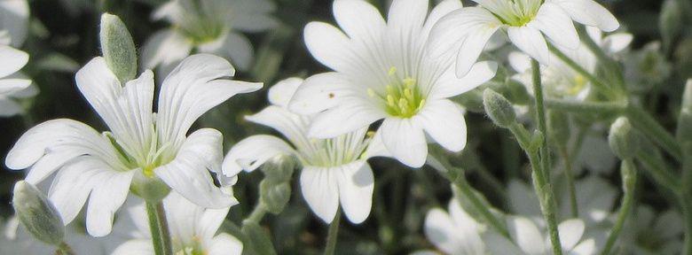 Cr er un massif de fleurs blanches for Fleurs blanches vivaces
