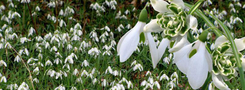 Perce Neige Galanthus Nivalis Plantation Culture Bio Et Varietes