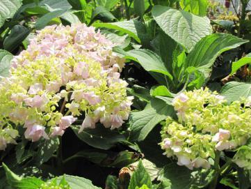 Arrosage du jardin arrosage goutte a goutte - Quand faut il couper les fleurs fanees des hortensias ...