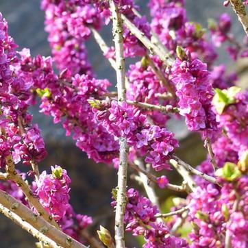 Un jardin fleuri et parfum en hiver plan - Bande de bruyere ...