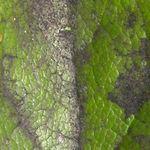 Parasites et maladies des rosiers traitements bio - Puceron rosier savon noir ...