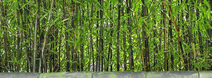 faire une haie de bambous