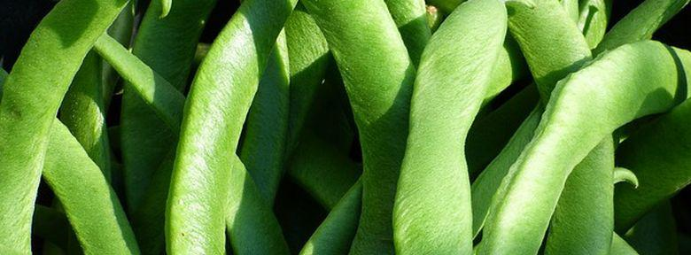 Parasites et maladies des haricots traitements bio - Maladie des haricots verts nains ...