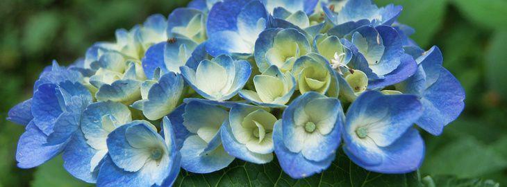 M todes pour avoir de beaux hortensias bleus - Comment faire secher des hortensias ...